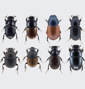 Dung Beetles Direct